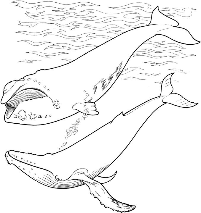humpback whale coloring pages - photo#29